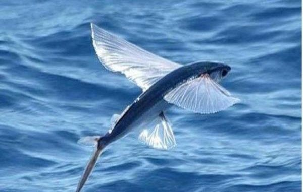 The Flying Fish Disappears From The Caribbean Salt Water Fish Salt Water Fishing Fish