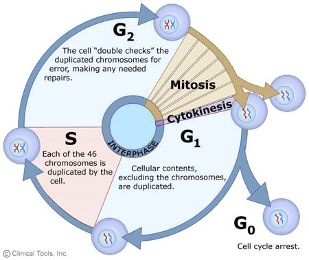 82 best biology images on pinterest science life science and an overview of the somatic cell cycle as can clearly be seen mitosis occupies only a small percentage of this cycle fandeluxe Choice Image