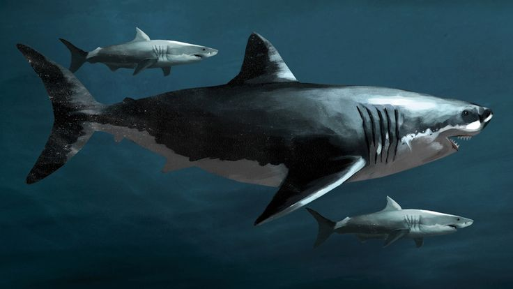 Know Your Ancient Sharks! Megalodon: Fact And Fiction  - Was Megalodon real? Does it still exist today? We're laying all of the rumors to rest.