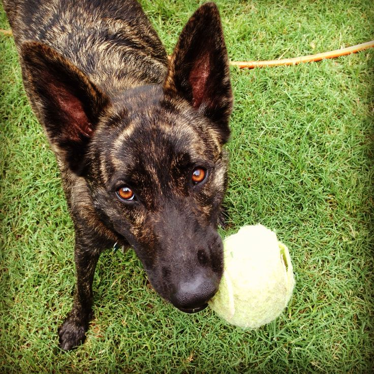 Best Dog Food For Dutch Shepherd