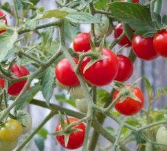 plantio-tomate-cereja                                                                                                                                                                                 Mais
