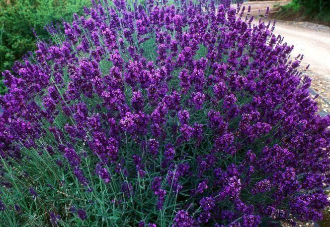 Королева ароматерапии – именно такое название негласно носит лаванда. Она еще не прижилась на полях и в садах обычных людей, а многим и вовсе знакома только из песни Софии Ротару. […]