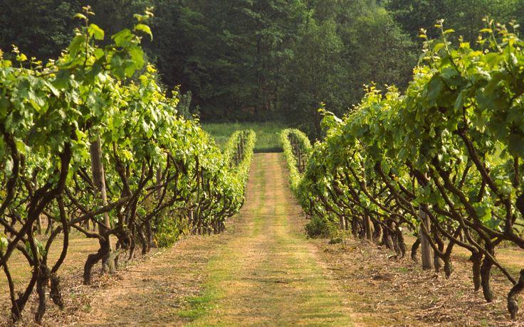 Biddenden Vineyard, Kent is a UK vineyard gem. Established in 1969, with 23 acres of vineyard. They also produce Kentish apple and pear cider.   #vineyardkent