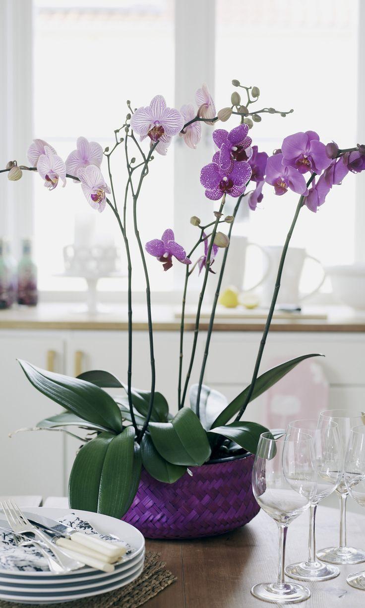 139 best phalaenopsis orchid images on pinterest phalaenopsis phalaenopsis orchidee romantic gift home mothers nationwide orchids buycottarizona