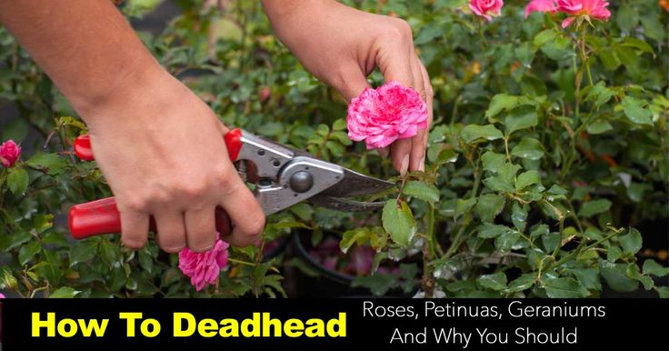 When you deadhead roses, petunias and geraniums and other annuals and many perennials will bloom longer helps control disease and make plants look better.