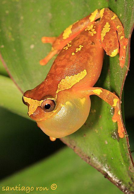 Dendropsophus sarayacuensis calling male from Yasuni National Park bySantiago Ron