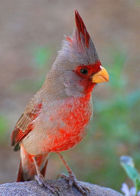 "Pyrrhuloxia (Cardinalis sinuatus)    Sometimes referred to as a ""desert cardinal"", this wild bird was spotted in the Saguaro forest."