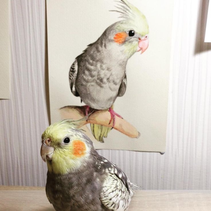 Cockatiel painting, parrot Instagram dayna.bar