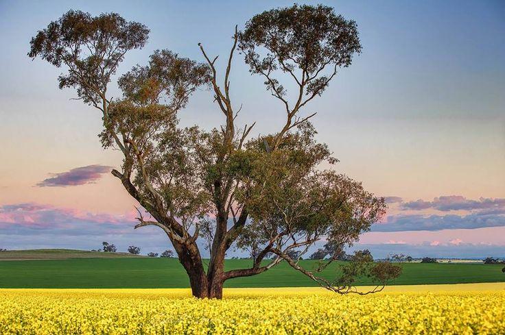 Golden canola, Merriwa, Golden Highway, btw Newcastle & Dubbo, NSW, Australia (by Laurence Dryer)