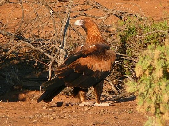 Wedge tailed eagle in The Flinders - SA