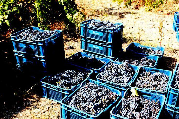 1200kg Carinena grapes picked in Priorat October 2013  http://tasteofbcn.com/vinsmaking/vinsmaking-i-barcelona-piknik-pa-vingard-og-vinsmaking