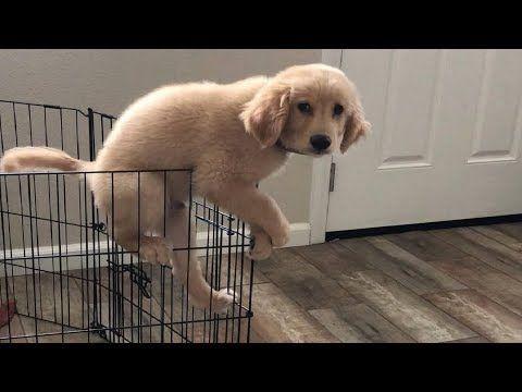 Funniest Cutest Golden Retriever Puppies 109 Funny Puppy