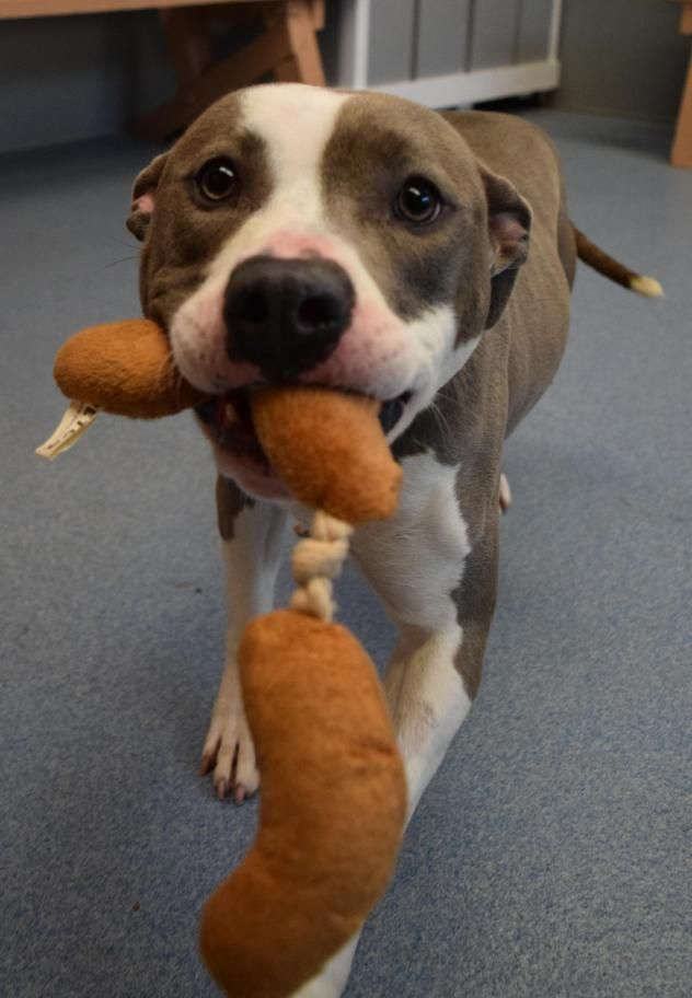 Thea - URGENT - ISLIP ANIMAL SHELTER AND ADOPT-A-PET CENTER in Bay Shore, NY - ADOPT OR FOSTER - 1 year old Spayed Female Pit Bull Terrier - She is very sweet and submissive. She enjoys playtime but wants cuddles and belly rubs much more. Thea would do best in a home with older children. She gets along with select dogs.