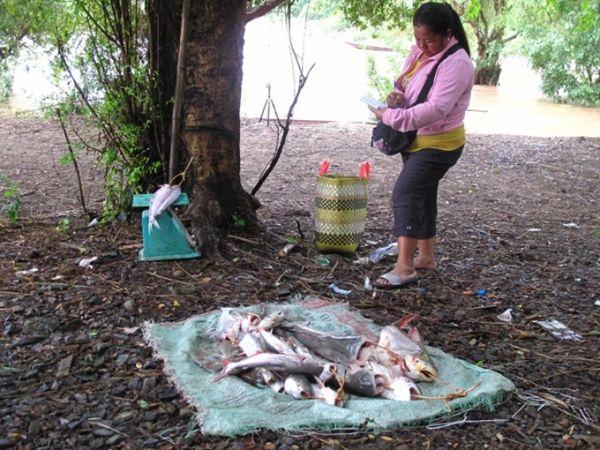 หล ผ หล จ บปลา บ านเม องโขง แขวงจำปาส ก ประเทศลาว ฟาร มก ประเทศลาว น ำตก