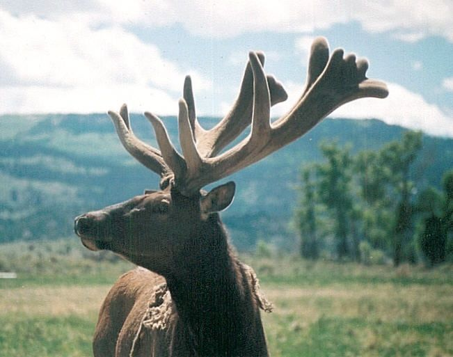 Discount Venison for Sale: USDA Elk, Red Deer, Fallow & Whitetail
