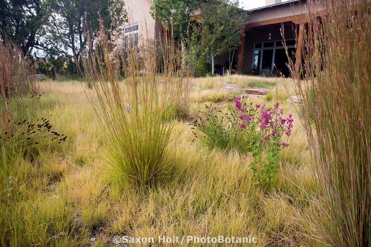 Little Bluestem (Schizachyrium scoparium) accent grasses and New Mexico wildflowers Agastache and Ratibida in Buffalo grass (Buchloe dactyloides) backyard drought tolerant lawn meadow garden, design by Judith Phillips