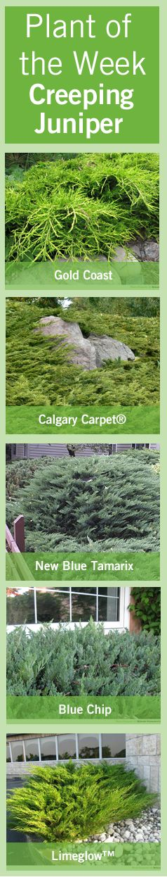 Creeping #juniper is a versatile #ground cover #plant that's fast growing in locations exposed to direct sunlight.  This bluish-green #evergreen features textured, plume like #foliage.  Depending on the variety of Bylands junipers (listed below,) a single creeping juniper can have a wide-spreading radius of approximately 5 to 10 feet when mature and grows to 12 to 60 inches high.  Read more here http://www.bylands.com/blog-entry/plant-week-july-28-2012-creeping-junipers