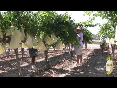 Raisin de table - Le seul raisin au monde mis en sachet avec Appellation d'Origine.  La technique de la mise en sachet permet que le processus de maturation se fasse sur le pied de vigne et de la façon la plus naturelle.