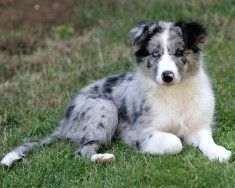 Photo of Blue Merle Pup for fans of Border Collie. blue merle pup
