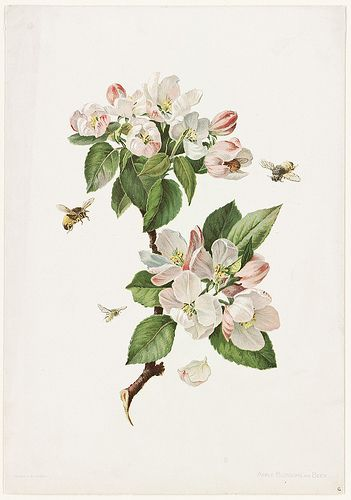 Apple Blossoms and Bees | by Boston Public Library