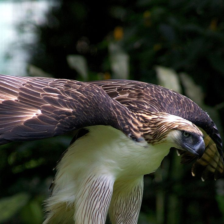 https://flic.kr/p/aABjw5 | The king of Eagles- The Philippines Eagle | As seen at the Eagle Foundation in Davao. They are majestic creatures!
