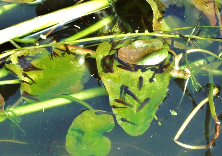 O beautiful frog of whom I'm most fond Your wriggling babies are filling my pond. The lettuce I'm bringing for them and their mother Is to stop the young blighters from eating each other.      29th March 2014.  [PS Mother frogs, as everyone knows, don't eat lettuce. I only said that for the sake of the rhyme.]