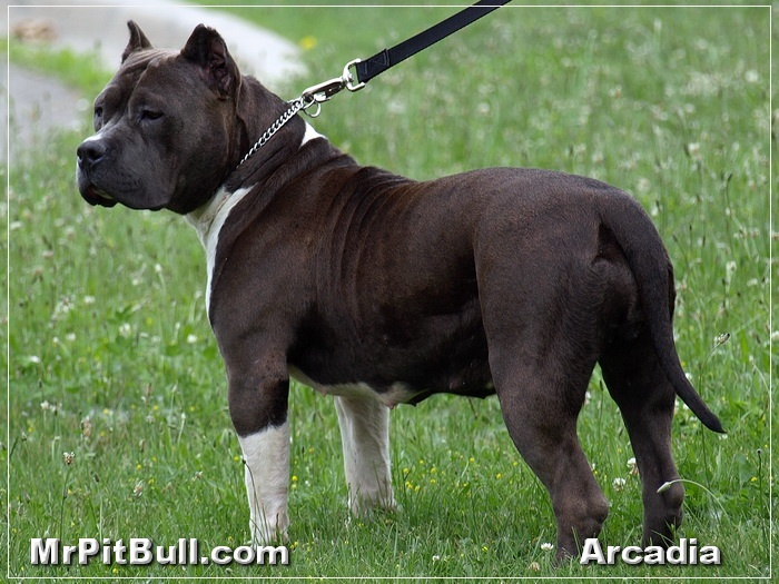 Pitbulls-Florida.JPG - You got to admit; she is one fine looking bully style pit bull.  And remember she is a direct Blue Remy daughter!  As you look Arcadia over you will note a number of features that Blue Remy is known to pass on, namely; thick wide chest and an extraordinary headpiece. Do we have Pitbull for sale in Florida... yes we most certainly do!  Take a moment why you are here to look at our PitBull Puppies Pictures too.