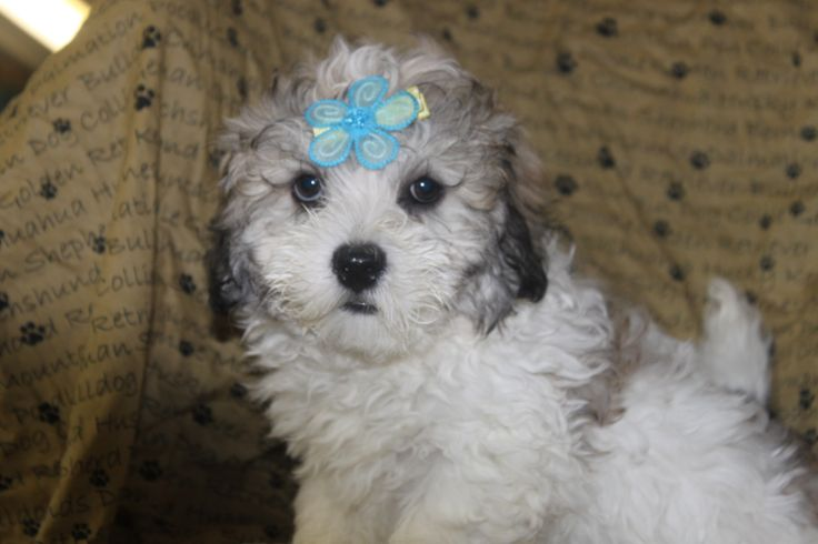Lhasa poo Puppies - Here is a male lhasa poo puppy advertised at http://www.network34.com/dogsbreed/lhasa-poo-puppies-for-sale-in-pa/