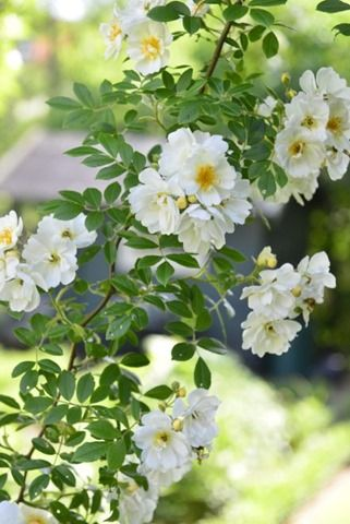 A cross of the species Rosa helenae, also known as Honey Rose   Claus Dalby