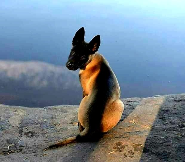 Pin By Gary Monsees On Belgian Malinois Dog With Images