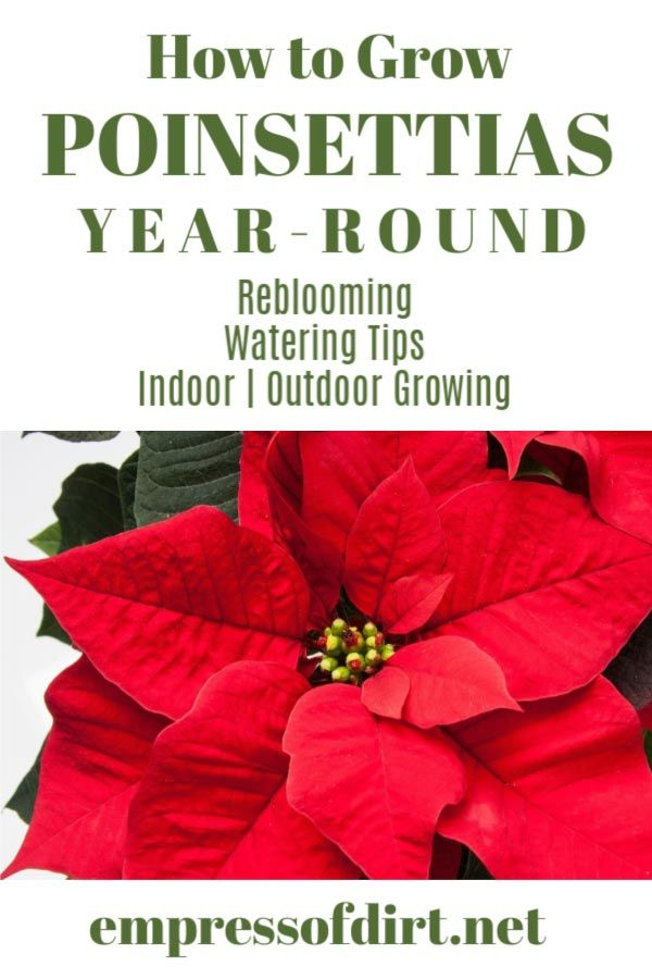 How To Make Poinsettia Bloom Year Round Care Tips Poinsettia Poinsettia Care Creative Gardening