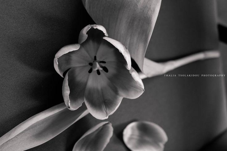 tulipe τουλιπα