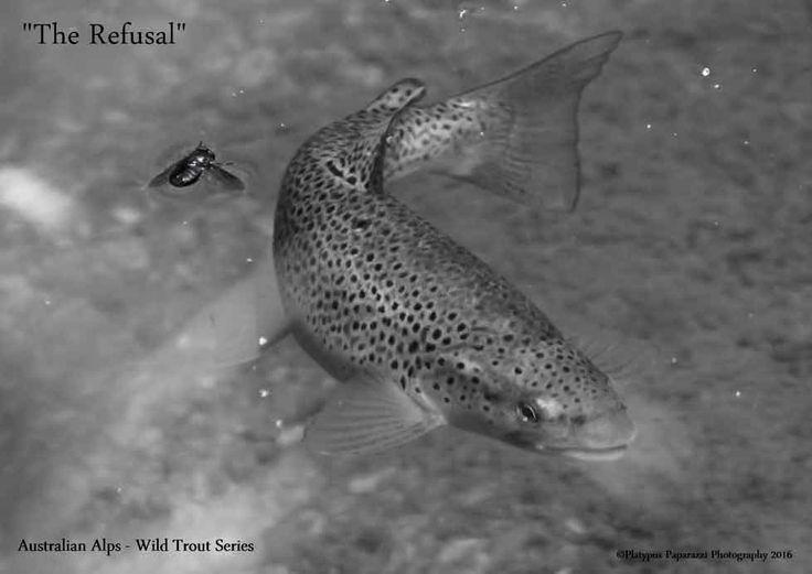 Australian Alps - Wild Trout Series