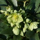 Corsican hellebore Bowl-shaped, pendant, pale green flowers hang above leathery, prickly-edged, sea-green leaves from January to March. This popular evergreen  makes an architectural statement in the middle of a mixed border.