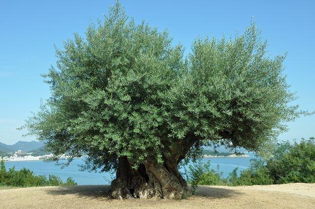 樹齢千年を超えるというオリーブの大樹@小豆島ヘルシーランド, EASTの丘