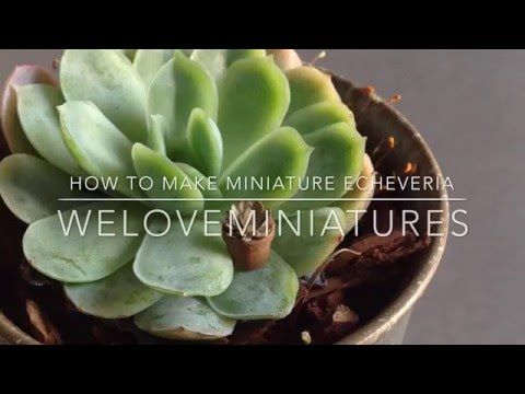 How to make miniature echeveria