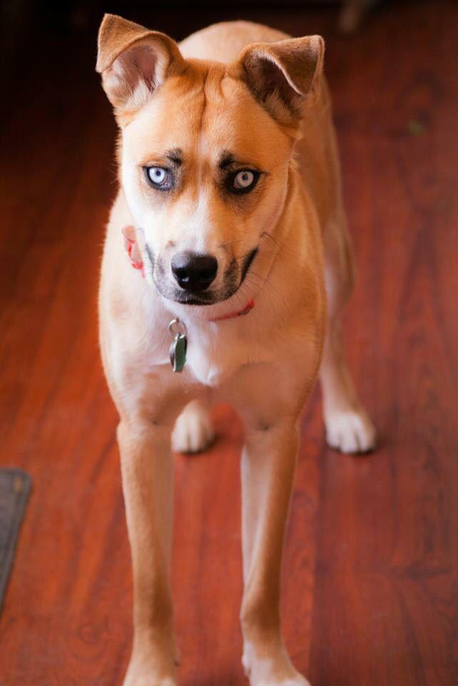 Husky boxer mix pup photography My Work Pinterest