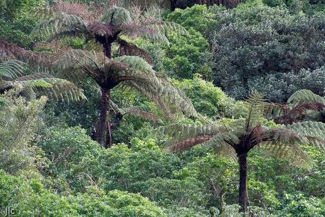 FreshTake Publishers (Photographer Jennifer Hammond): This photo was taken in Khandallah Park, Wellington New Zealand, right in the middle of suburban Wellington.   It was only about 15 minutes walk from the photographer's house. You really do get to appreciate how tall the ferns are in this picture.