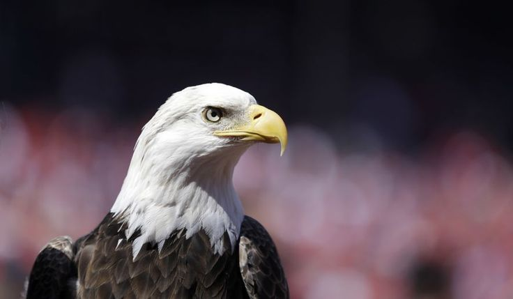 In this photo taken April 11, 2016, a bald eagle is seen before the start of a baseball game between the St. Louis Cardinals and the Milwaukee Brewers in St. Louis. The Obama administration on Wednesday, Dec. 14, 2016, finalized a that lets wind-energy companies operate high-speed turbines for up to 30 years, even if means killing or injuring thousands of federally protected bald and golden eagles. (AP Photo/Jeff Roberson)
