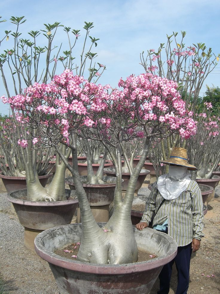 The Adenium arabicum, my new favorite tree! They have been bred in Thailand to be bonsai sized. I really really want one.
