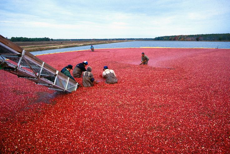 Fights #cancers. Laboratory studies have shown that #cranberry extracts can prevent breast cancer cells from multiplying. Other studies showed that #cranberries helped to inhibit the development of cancerous cells in lab animals. Other cancers that may be prevented by using cranberries are colon, prostate and lung.