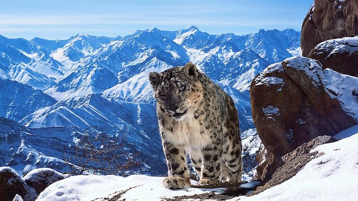 BBC One - There may be as few as 3,500 snow leopards left in the wild. - Planet Earth II, Mountains - In pictures...