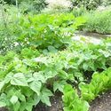 Information About Plants: Vegetables, Herbs, & Fruit Guides.Growing Guides for Popular Edibles.Welcome to our Growing Guides to vegetables, herbs, and fruit!Planting a vegetable garden? Our free Growing Guides will tell you how to plant, grow, and harvest the most popular crops. You'll aslo find tips on garden pests, recommended plant varieties, great recipes for the kitchen, and a dose of Almanac wit and wisdom!