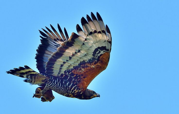 African Crowned Eagle The African Crowned Eagle has a bigger body than Verreauxs' Eagle but a smaller wingspan, which is an adaptation to its preferred habitat - thick, riverine bush. It will not hesitate to swoop through dense bush canopy to get its prey.