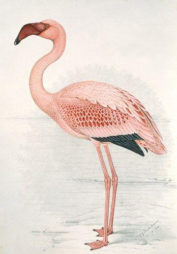 Claude Finch-Davies . Flamingo