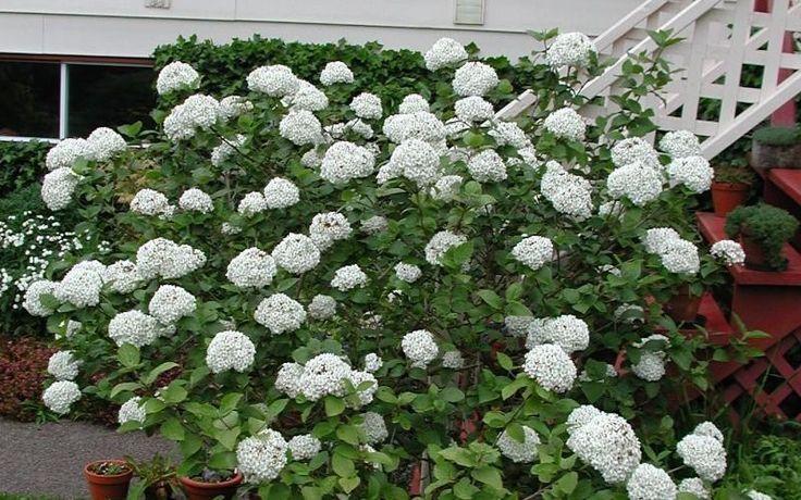 Fragrant Snowball Viburnum