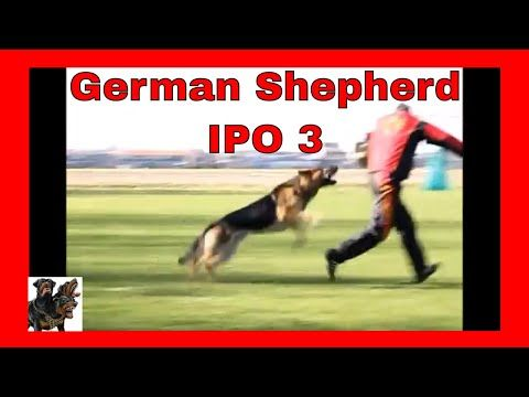 An Example Of Ipo 3 Gsd Youtube Protection Dog Training Dog