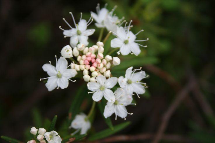 Suopursu (Rhododendron tomentosum)