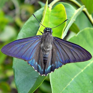 Mangrove Skipper, Phocides pigmalion, from North Palm Beach, Florida, United States by Bob Peterson via Flickr (cc-by-sa): http://www.flickr.com/photos/pondapple/7167858724/