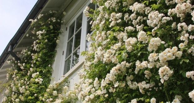 84 Best Rose Covered Cottages Images On Pinterest